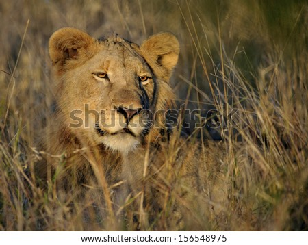 Young male lion suns himself in the grass