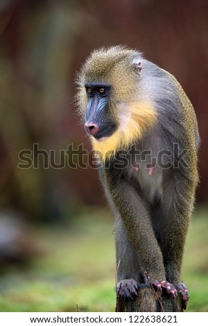 young male mandrill perched on wooden post/Mandrill - stock photo