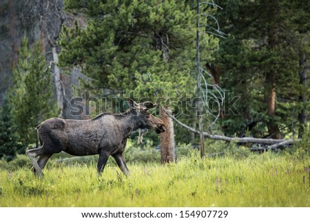 Young male moose in Rocky Mountain National Park Colorado