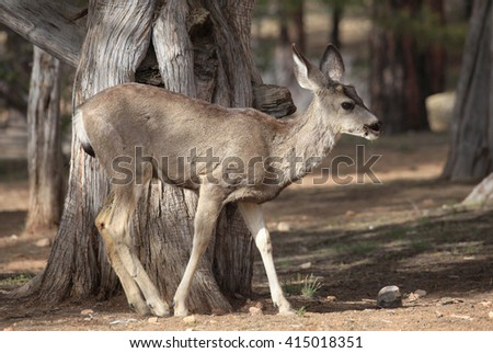 Young Male Mule Deer in the Cedar Grove - stock photo