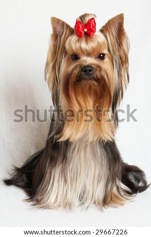 Young male of the yorkshire terrier