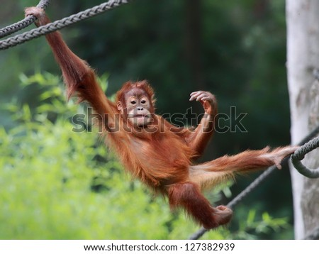Young male Orangutan is relaxing - stock photo