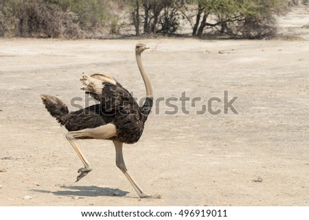 Young male ostrich (Struthio camelus) running in the Mahango Game Reserve, Namibia