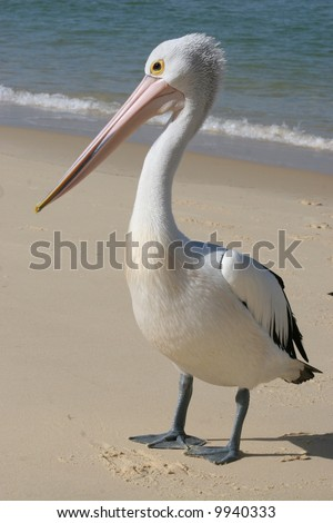 young male pelican on beach on island