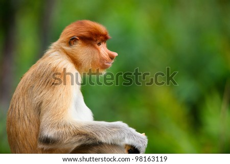 Young male proboscis monkey in a wild on Borneo island in Malaysia