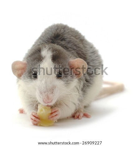 young male rat with cheese