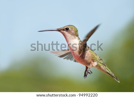 Young male Ruby-throated Hummingbird in flight - stock photo