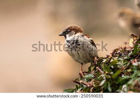 Young male sparrow (Passer domesticus) in a bush - stock photo