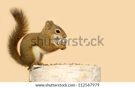 Young male squirrel holding on lovingly to a tiny antique picture frame with a picture of his sweetheart in it. Part of a  series. - stock photo