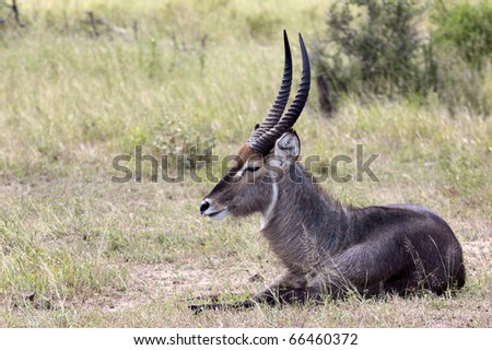 Young Male Waterbuck resting during the heat of the day. - stock photo