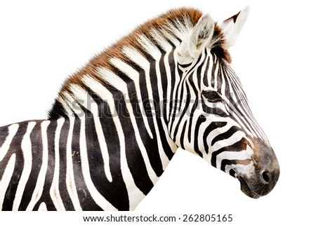 Young male zebra head isolated on white background - stock photo