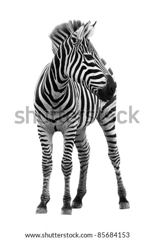 Young male zebra isolated on white background - stock photo