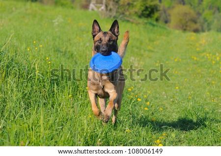 young Malinois Dog 1 year Belgian Shepherd - stock photo
