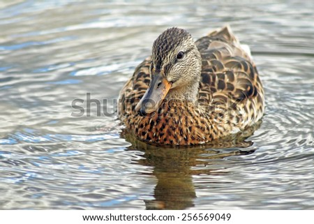 Young mallard duck female swimming on calm blue waters - stock photo