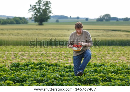 Young man on organic strawberry farm in summer, picking berries
