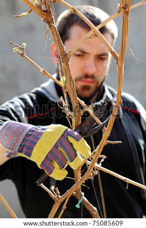 Young man pruning grape in a vineyard selective focus on hand