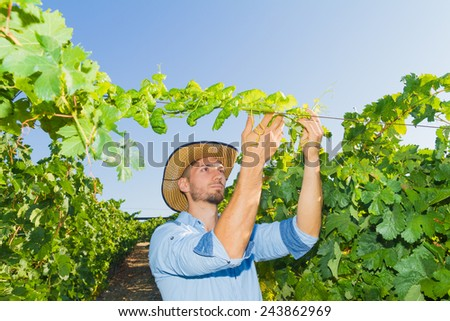 Young man, vine grower, inspecting the vines in the vineyard. - stock photo