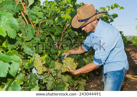 Young man, vine grower, walk through grape vines inspecting the fresh grape crop. - stock photo