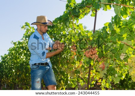 Young man, vine grower, walks through grape vines inspecting the fresh grape crop. - stock photo