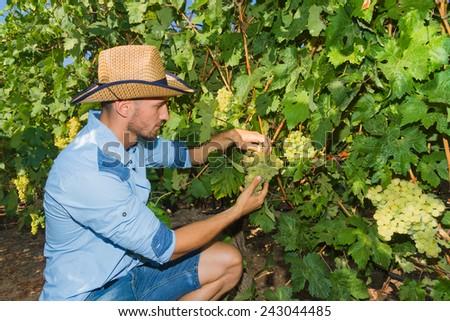 Young man, vine grower, walks through grape vines inspecting the fresh grape crop. - stock photo
