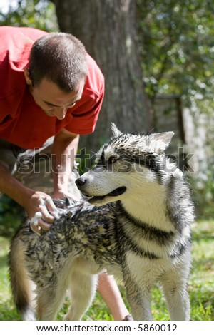 young man washes in Siberian Husky dog in the backyard