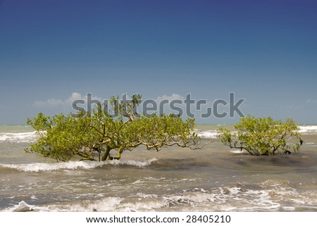 young mangrove trees - stock photo