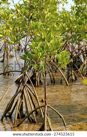 Young mangrove trees in forest at the estuary of a river. Thailand. - stock photo