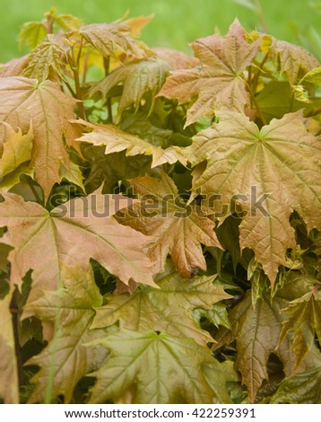 young maple leaves in the natural wood - stock photo
