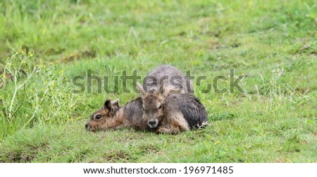 Young Mara (Dolichotes) - stock photo