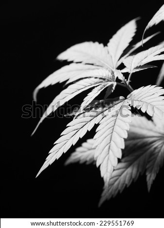 Young marijuana plant, Cannabis Background. Low depth of field.  - stock photo