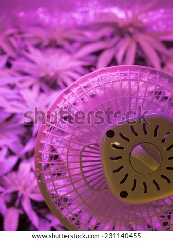 Young marijuana plant, Cannabis Background. Low depth of field. Ultraviolet growing lights. - stock photo