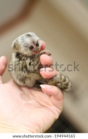young marmosets monkey on the hand - stock photo