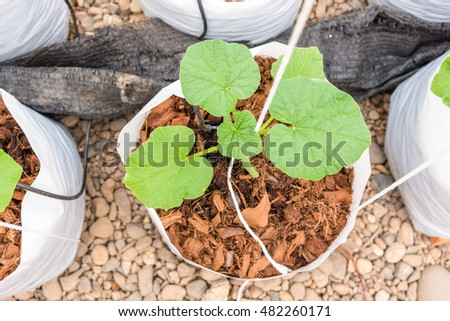 young melon plant in white plastic bag in glass house with watering system