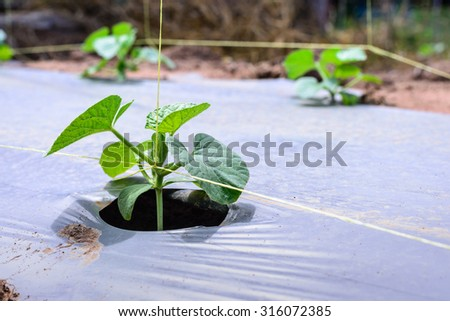 Young melon plantation mulching with plastic film. - stock photo