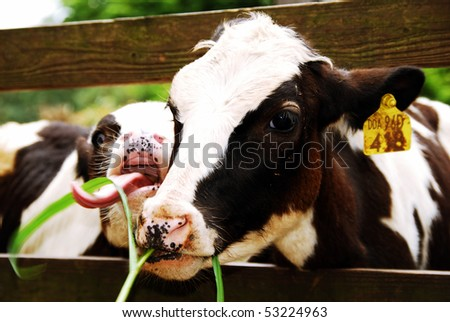 young milk cow - stock photo