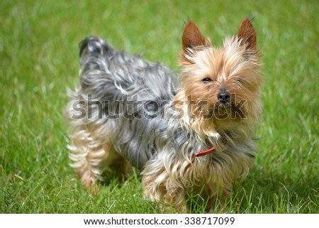 young mini yorkie dog on the green grass - stock photo