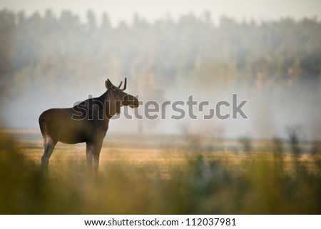 Young moose - stock photo