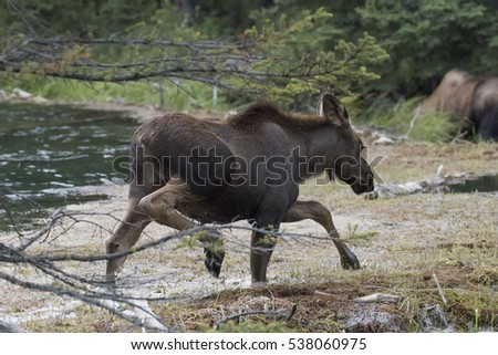 Young Moose carefully crossing water