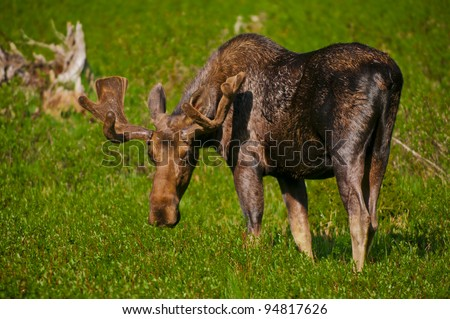 Young moose grazing on the grass in south dakota