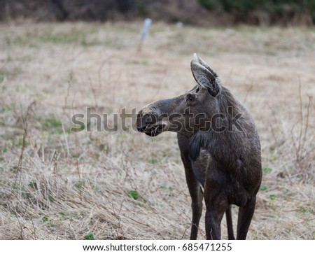 Young moose in a field