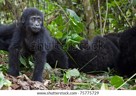 Young mountain gorilla staring and looking kind of worried. - stock photo