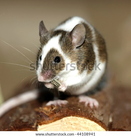 Young mouse eating a sunflower nut - stock photo