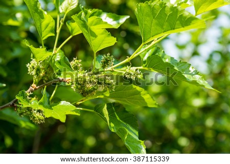 young mulberry on branch