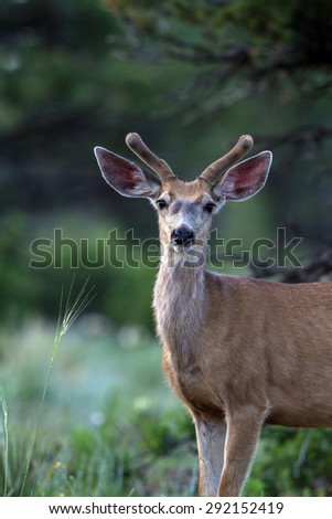 Young Mule Deer in velvet in the Rocky Mountains of Colorado - stock photo