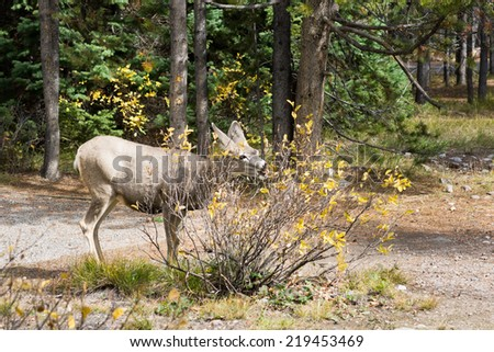Young mule deer (Odocoileus hemionus) eats bush. United States National Park Grand Teton - stock photo
