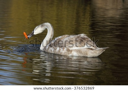Young Mute Swan (Cygnus olor) is struggling with carrots. - stock photo