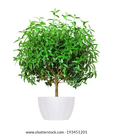 young myrtle a potted plant isolated over white - stock photo