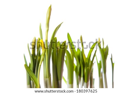 young narcissus on white background - stock photo