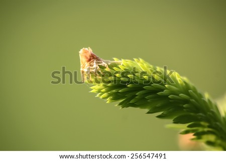 young needles of a spruce (piece babies) - stock photo