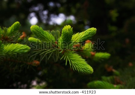 young needles of fir. more in portfolio - stock photo
